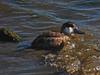 Ruddy Duck, <em>Oxyura jamaicensis</em> San Leandro Channel; Alameda, Alameda Co., CA, 2015/01/21