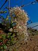 <em>Eriogonum parvifolium</em>, Dune Eriogonum, Sea Cliff Buckwheat, native.  <em>Polygonaceae</em> (Buckwheat family). Crown Beach, Alameda, Alameda Co., CA, 2014/01/30, jm2p1104