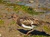 Black Turnstone, <em>Arenaria melanocephala</em> Ballena Bay, Alameda, Alameda Co., CA, 2014/09/15