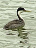 Western Grebe, <em>Aechmophorus occidentalis</em> Ballena Bay, Alameda, Alameda Co., CA 2012/03/30