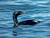 Pelagic Cormorant, <em>Phalacrocorax pelagicus</em> Point Isabel, Richmond, Contra Costa Co., CA, 2015/01/29