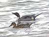 Northern Pintail, <em>Anas Acuta</em> San Leandro Channel, Alameda, Alameda Co., CA 2/10/2012