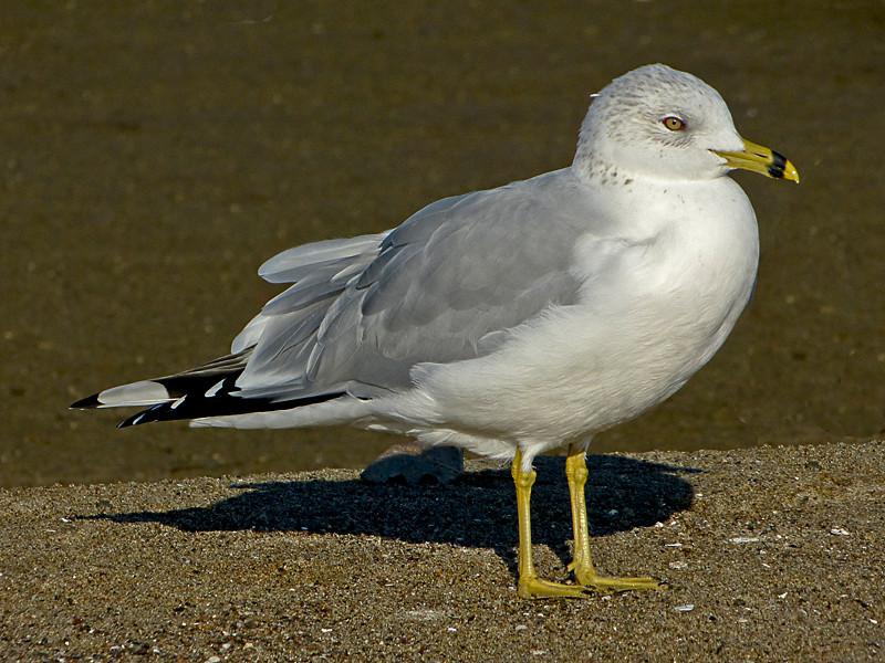 Ring-billed Gull, <em>Larus delawarensis</em> Crown Beach, Alameda, Alameda Co., CA 12/17/2011