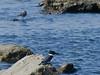 Belted Kingfisher, <em>Ceryle alcyon</em> Ballena Bay, Alameda, Alameda County, CA  2012/09/17