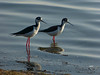 Black-necked Stilt, <em>Himanotopus mexicanus</em> Crown Memorial State Beach, South Shore, Alameda, Alameda Co., CA 12/13/2011