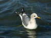 Mew Gull, <em>Larus canus</em> Gullapalooza herring run Ferry Point, Richmond, Contra Costa Co., CA 2/27/2012