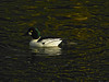 Common Goldeneye, <em>Bucephala clangula</em>, m. Lake Merritt Channel, Oakland, Alameda Co., CA 1/29/2012