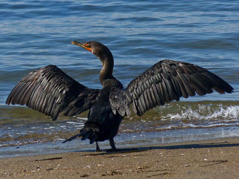 Double-crested Cormorant, <em>Phalacrocorax auritus</em> Crown Beach, Alameda, Alameda Co., CA 2012/10/08