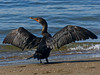 Double-crested Cormorant, <em>Phalacrocorax auritus</em> Crown Beach, Alameda, Alameda Co., CA 2012/10/08