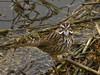 Song Sparrow, <em>Melospiza melodia pusillula</em> Arrowhead Marsh, San Leandro Bay, Oakland, Alameda Co., CA 1/23/2012