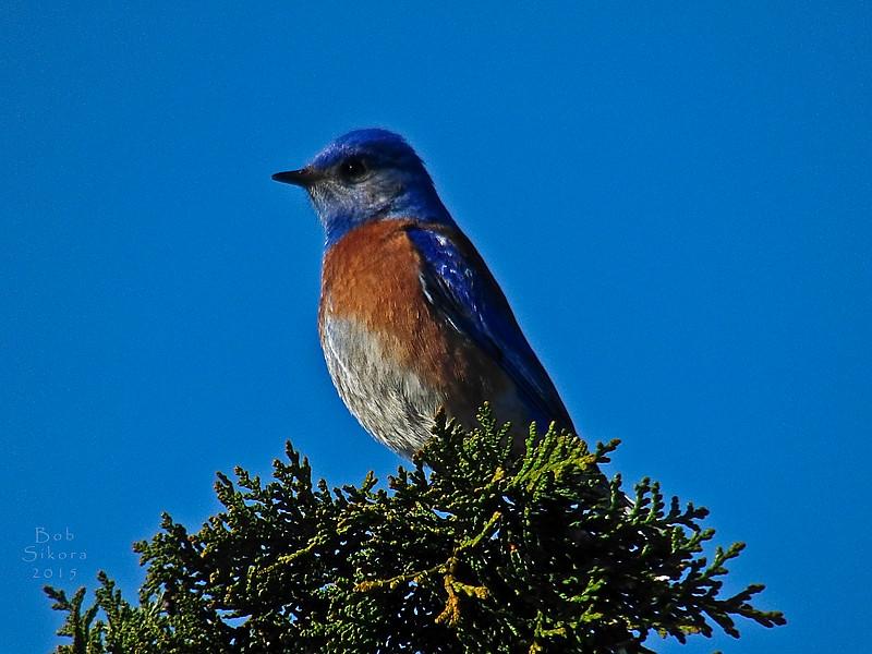 Western Bluebird, <em>Sialia mexicana</em> San Leandro Channel, Alameda, Alameda Co., CA, 2015/01/21