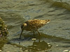Long-billed Dowitcher, <em>Limnodromus griseus</em> (?) Ballena Bay, Alameda, Alameda Co., CA 2012/03/30