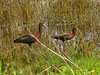 White-faced Ibis, <em>Plegadis chihi</em> Coyote Hills Regional Park, Fremont, CA  2912/04/18