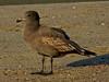 Heermann's Gull, <em>Larus heermanni</em> Crown Beach, Alameda, Alameda Co., CA,  2011/12/09