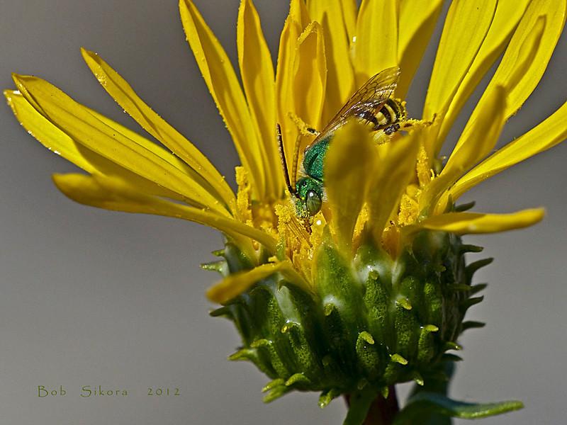 <em>Grindelia stricta var. angustifolia</em>, Marsh Gumplant, native.  <em>Asteraceae</em> (= <em>Compositae</em>, Sunflower family). <em>Agapostemon sp. (texanus?)</em>, Metallic Green Bee, male. Ballena Bay, Alameda, Alameda County, CA 2012/09/17  jm2p337