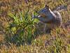 Beechy Ground Squirrel, <em>Spermophilus beecheyi</em> Elsie Roemer Bird Sanctuary, Crown Beach, Alameda, Alameda Co., CA, 12/17/2011