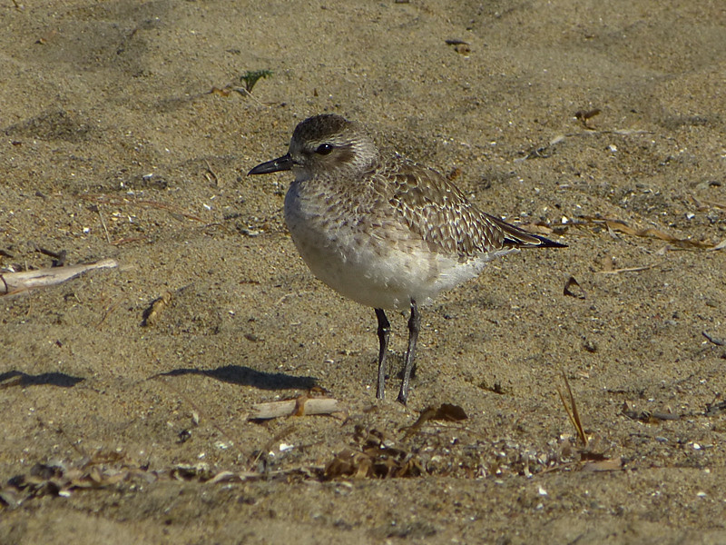 Pacific Golden Plover, <em>Pluvialis fulva</em> Crown Beach, Alameda, Alameda Co., CA 1/13/2012
