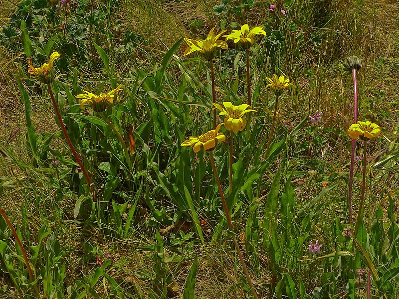 <em>Wyethia angustifolia</em>, Narrow-leaved Mule's Ears, native.  <em>Asteraceae</em> (= <em>Compositae</em>, Sunflower family). Brooks Island, Contra Costa Co., CA 2012/05/06, jm2p440