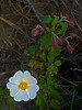 <em>Cistus salviifolius</em>, Sage-leaf Rock-rose, Europe.  <em>Cistaceae</em> (Rock-rose family). Crown Beach, Alameda, Alameda Co., CA, 2014/01/24, jm2p650