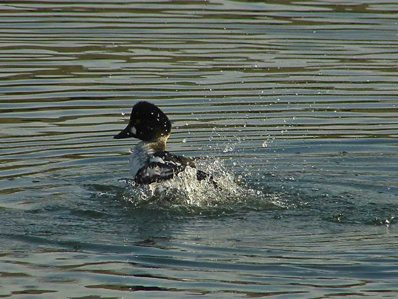 Common Goldeneye, <em>Bucephala clangula</em>, teenager. Lake Merritt Channel, Oakland, Alameda Co., CA 1/29/2012