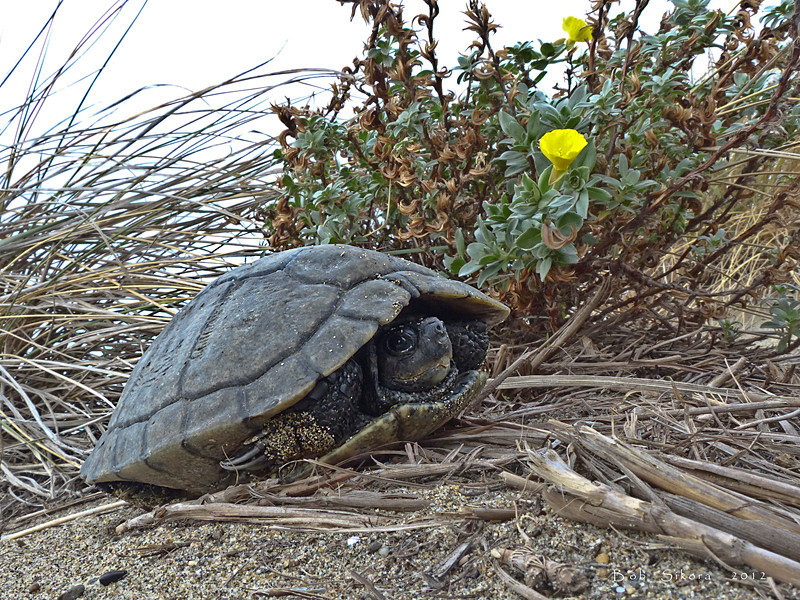 Western Pond Turtle, <em>Clemmys marmorata</em>  ! ! ! ! ! Crown Beach, Alameda, Alameda Co., CA  2012/12/14 Anyway, he was very shy, but very much alive, and he is staying as a house guest until we can shuttle him back home next week.
