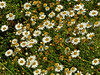 <em>Argyranthemum foeniculaceum</em>, Canary Island margeurite, Canary Islands.  <em>Asteraceae</em> (= <em>Compositae</em>, Sunflower family). Brooks Island, Contra Costa Co., CA 2012/05/06, jm2p246