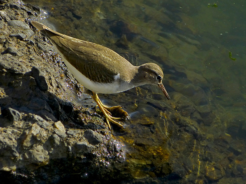 Spotted Sandpiper, <em>Arctitis macularia</em> San Leandro reach, South Shore, Alameda, Alameda Co., CA 1/13/2012