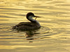 Ensnared grebe at Berkeley Aquatic Park evening, Tues. 24 Jan. 2012 needs help.  Epilogue:  He (?) apparently got loose after struggling for nearly a week.