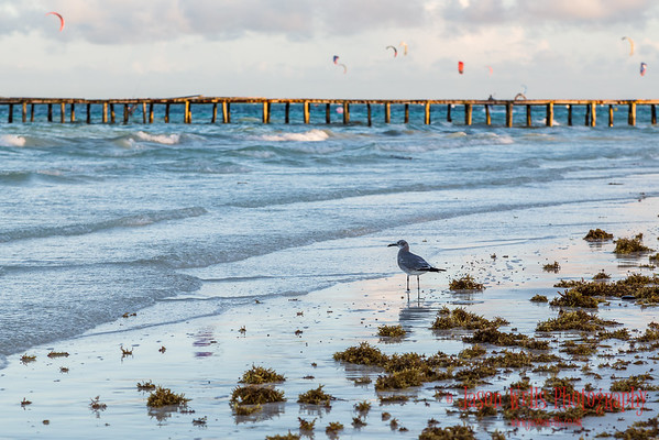 Sea gull scavenges for food