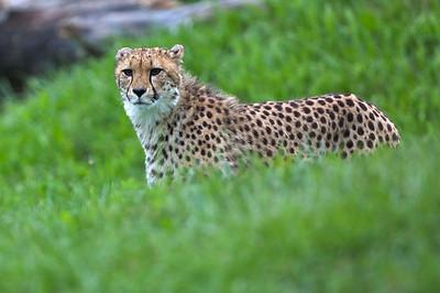 Cheetah in the grass.
