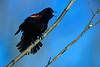 Redwing Blackbird (male)