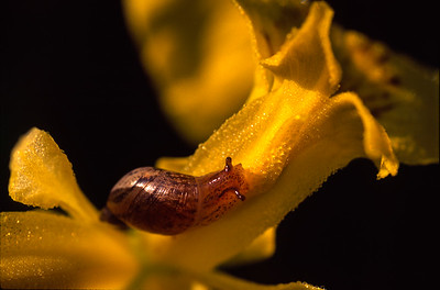Snail on Yellow Iris