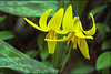 Trout Lilies, O'Neil Woods