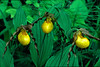 Yellow Ladyslippers