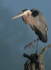 Great Blue Heron, Beaver Marsh