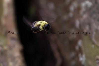 Bumble Bee Flying