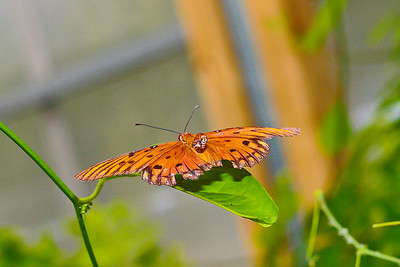 Gulf Fritillary! Taken with the 50mm 1.8 lens