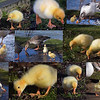 """01.04.15 - All Together Now.....""""Aaaaaaaaaaahhhhhhhhh""""<br /> <br /> I wanted to share another shot of the baby Greylag geese in town and couldn't decide which one, so I'm afraid you have another collage!"""