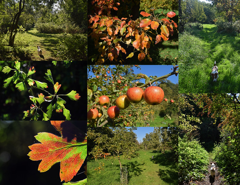 03.10.15 - Autumn Orchard<br /> <br /> These shots are in Cross O'Cliff orchard, a beautiful old oasis of peace and tranquillity near my daughter's school. It was created in Victorian times but abandoned and forgotten for decades until the 1990s. It is now maintained by volunteers and stocked with rare varieties of apples, pears, plums and damsons that the public can pick.
