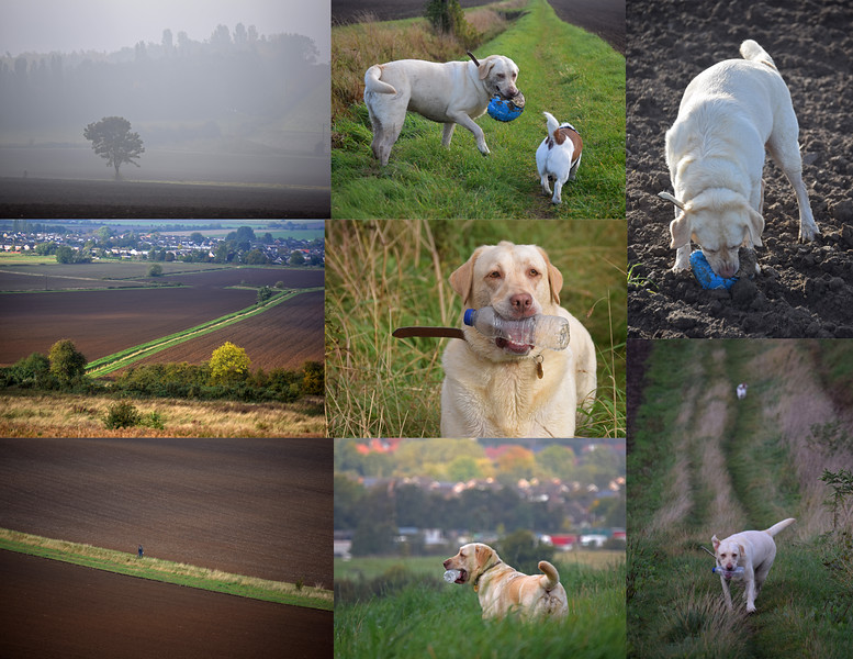 """06.10.15 - Dogsitting Bonnie<br /> <br /> Yesterday we were looking after our neighbour's golden Labrador """"Bonnie"""" again while her owners were away at a hospital appointment. We had a misty start to our walk, but it brightened up as we went round the fields. One of Bonnie's quirks is that she likes to collect objects and carry them round with her. Here she found an old leather football and plastic bottle."""