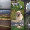 "06.10.15 - Dogsitting Bonnie<br /> <br /> Yesterday we were looking after our neighbour's golden Labrador ""Bonnie"" again while her owners were away at a hospital appointment. We had a misty start to our walk, but it brightened up as we went round the fields. One of Bonnie's quirks is that she likes to collect objects and carry them round with her. Here she found an old leather football and plastic bottle."