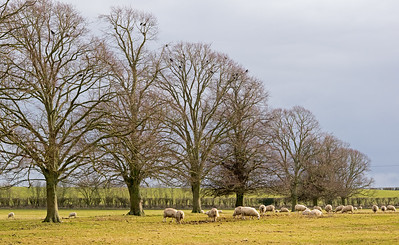 06.02.18 - Winter Trees and Sheep