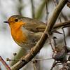 19.03.18 - Robin