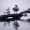 20.02.11 - Odd One Out<br /> <br /> I think we can all relate to this goose from time to time :)