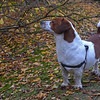 27.10.14 - Sniffing the Air<br /> <br /> Mr Willis on an afternoon stroll :)