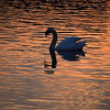 01.04.14 - Serenity<br /> <br /> This is from my guided photo walk last night, a swan floating serenely on Brayford Pool at dusk
