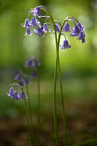 30.04.14 - Bluebells  Bluebells illuminated by a tiny shaft of light through the forest canopy