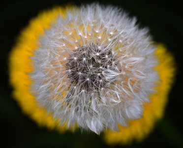 09.04.14 - Dandelion  Dandelions can be a fascinating subject to photograph and I am always trying to find new ways to shoot them. Here I used a very shallow depth of field to create a surreal effect while looking straight down onto a seed head and two intact flowers. Apart from slight cropping to even out the dark space around the image this is straight out of camera.  Thank-you for your wonderful comments on my windmill sunset yesterday.