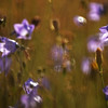 23.07.14 - Backlit Harebells<br /> <br /> This is from my guided photo walk on Lincoln South Common yesterday evening. I love backlight, especially in the soft evening light. There are lots of tiny purple harebells out at the moment, and they were shimmering amongst the grasses in the light breeze.