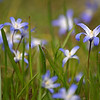 31.03.14 - Immigrant<br /> <br /> This is the Spring Starflower, a beautiful delicate little flower often found in parks and gardens at this time of year. It was actually introduced to the UK in 1820 when botanists brought a few specimens back from Argentina.